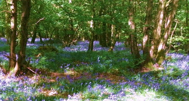 Bluebells in Greenwoods